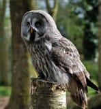 Free stock photo of owl, great grey owl, bird of prey, bird Royalty Free Stock Image