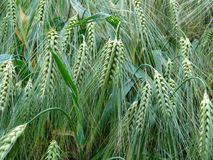 Free stock photo of plant, grass family, vegetation, food grain Stock Photography