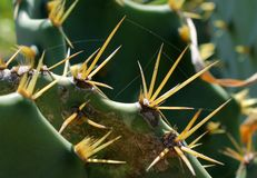 Free stock photo of plant, thorns spines and prickles, cactus, flowering plant Royalty Free Stock Photos