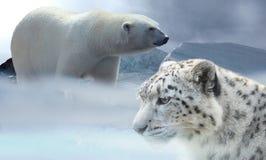 Free stock photo of polar bear, terrestrial animal, wildlife, bear Royalty Free Stock Photography
