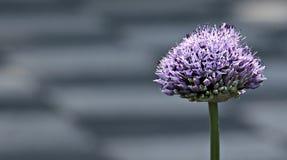 Free stock photo of purple, plant, flower, flora Stock Photo