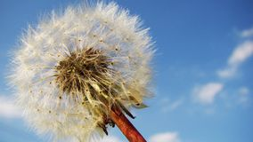 Free stock photo of sky, dandelion, flower, cloud Royalty Free Stock Images