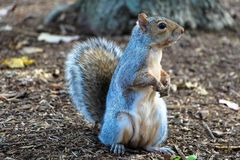 Free stock photo of squirrel, mammal, fauna, fox squirrel Royalty Free Stock Image