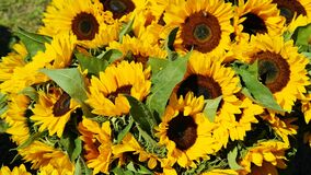 Free stock photo of sunflower, flower, yellow, sunflower seed Royalty Free Stock Image