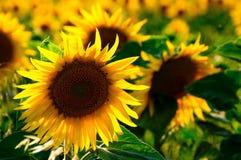 Free stock photo of sunflower, flower, yellow, sunflower seed Stock Photos