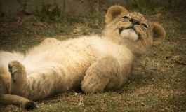 Free stock photo of wildlife, lion, terrestrial animal, fauna Stock Photo