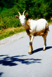 Free summer goat walking on mountain road in suny day. Free summer goat walking on mountain road in suny day Royalty Free Stock Photo