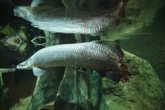 Free swiming juvenile arapima gigas, underwater. The free swiming juvenile arapima gigas, underwater Stock Image