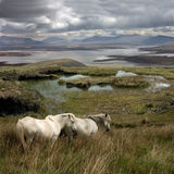 Free to Roam. Wild horses roam freely on Achill Island on the West coast of Ireland Royalty Free Stock Image