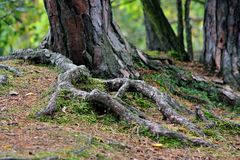 Free tree root Stock Images