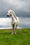 Free white horse Stock Photos
