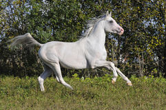 Free white horse runs gallop. In summer Royalty Free Stock Photography