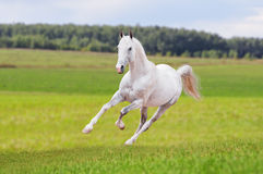 Free white horse in summer field Royalty Free Stock Image