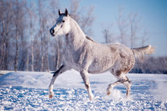 Free white horse on winter background Royalty Free Stock Images