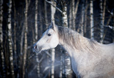 Free white horse on winter background Royalty Free Stock Photography