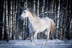 Free white horse on winter background Stock Photo