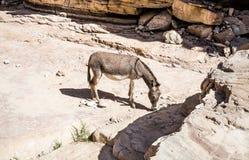 Free wild Donkey Royalty Free Stock Photos