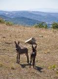 Free wild donkeys Royalty Free Stock Images