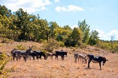 Free wild donkeys Stock Image
