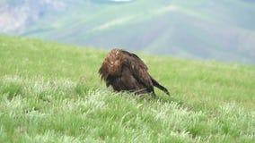 Free Wild Golden Eagle Bird in Natural Habitat of Green Meadow