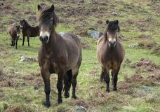 Free wild horses on a moor in North Devon. Wild horses on a moor in North Devon enjoying their freedom royalty free stock images