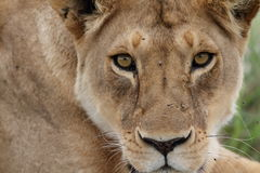 Free wild roaming african lion Stock Photo