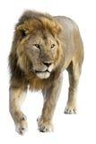 Free wild roaming african lion Royalty Free Stock Image