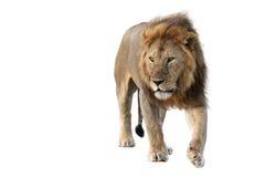 Free wild roaming african lion Stock Image
