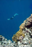 Freediver. And coral Red sea Stock Images