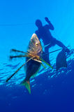 Freediver. Catching a fish in mediterranean sea (Giglio Island, Tuscany Stock Image