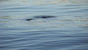 Freediver que mergulha na água, operação de salvamento que procura pelo corpo afogado filme
