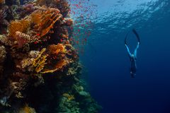 Freediver in the sea. Freediver descending along the vivid reef wall. Red Sea, Egypt Royalty Free Stock Image
