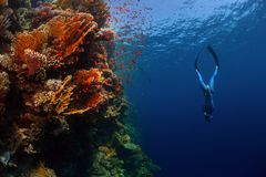 Freediver in the sea. Freediver descending along the vivid reef wall. Red Sea, Egypt Royalty Free Stock Photos