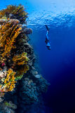 Freediver in the sea. Freediver descending along the vivid reef wall. Red Sea, Egypt Stock Image