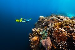 Freediver swims underwater. Near the vivid coral reef with colorful corals and schools of fish. Philippines royalty free stock photography