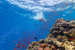 Freediver woman exploring coral Stock Photography