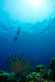 Freediving from a tropical reef in Honduras royalty free stock photography