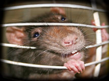 Freedom!-1. Rat in a cage Royalty Free Stock Image