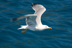 Freedom. Beautiful Corsican seagull gliding down into deep blue sea Royalty Free Stock Images