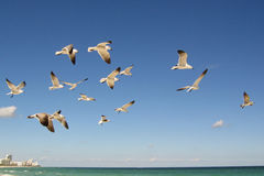 Flock of seagulls. Flying in blue sky over sea Stock Photography