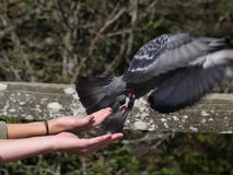 Freedom. Pigeon released back into the wild royalty free stock images