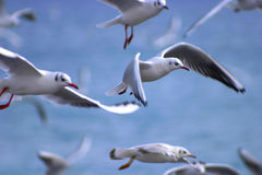 Freedom. Group of seagull flying Royalty Free Stock Images