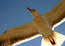 Freedom. Closeup of Seagull flying against a blue sky Royalty Free Stock Photography