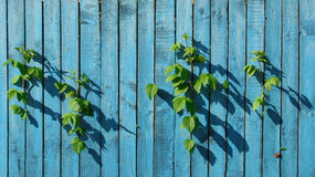 Freedom. The green leaves of raspberry went out on freedom from a dark blue fence Stock Photos