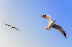 Freedom of bird's life. Freedon of flying to anywhere led by wing Royalty Free Stock Photos