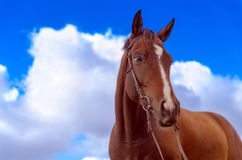 Freedom. War Horse. Freedom. Brown horse on a background of bright cloudes Royalty Free Stock Photos