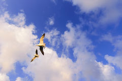 Freedom concept. Flying seagulls in blue sky with clouds Royalty Free Stock Photography
