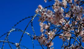 Freedom concept. Wire barbed fence and almond tree blossoms on blue sky background. Springtime Royalty Free Stock Photo