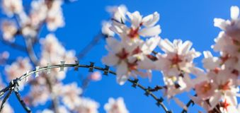 Freedom concept. Wire barbed fence and blur almond tree blossoms on blue sky background. Springtime Royalty Free Stock Photo