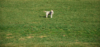 FREEDOM: dog on the lawn Stock Photo